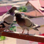 Come allontanare piccioni sul balcone