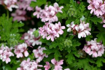 Geranio odoroso: antizanzare da balcone