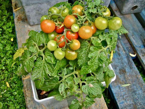 Pomodorini in vaso su balcone